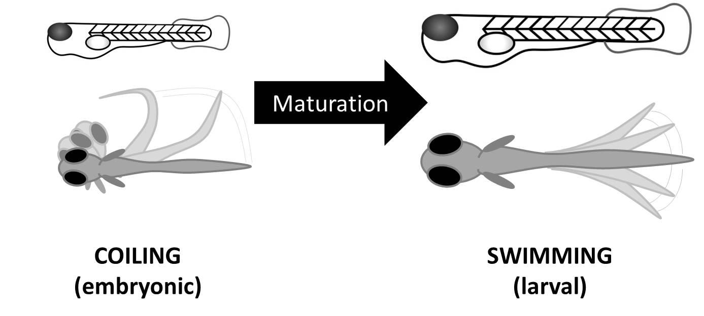 Development of zebrafish